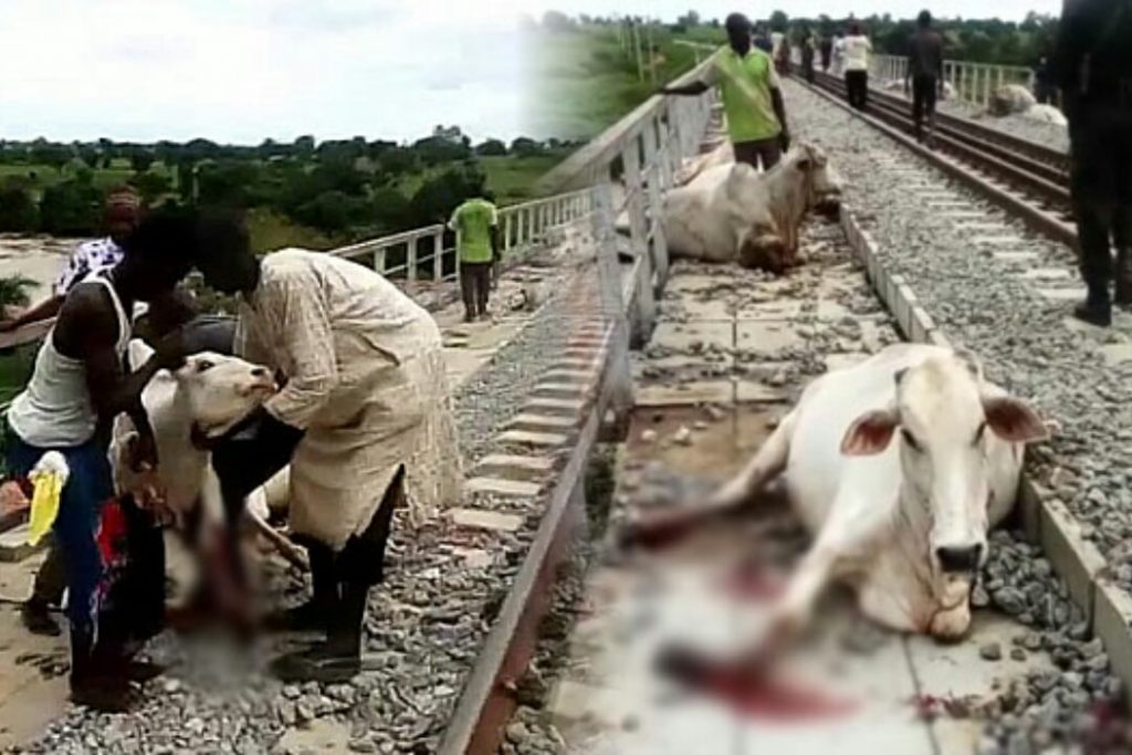 Residents fetch beef freely as Train crushes 10 cows in Ogun